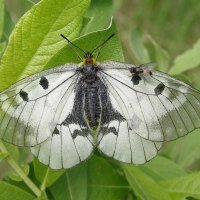 Муха на крыле бабочки :: Сергей Михальченко
