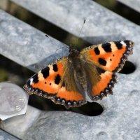 Бабочка :: Schumacher Peter