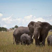 слоны :: сергей агаев