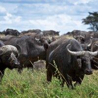 буйволы :: сергей агаев