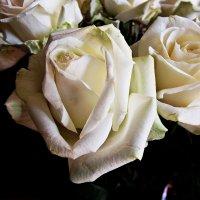 Розы :: Марина Валерьева