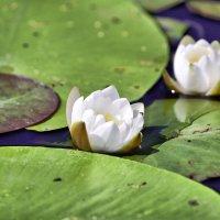Водяная лилия :: Елена Богос