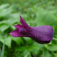 Одинокий тюльпан. :: Ольга