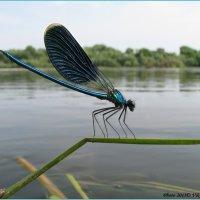 Calopteryx splendens- синяя красавка :: Виктор Марченко