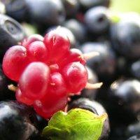 волшебная ягода Куманика (Костяника) :: Дмитрий Приказчиков