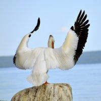 """Пеликаны на """"Холодном озере"""" :: Сергей Бушуев"""