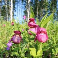 Цветочные башмачки. :: Наталья Юрова