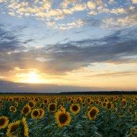 Sunflowers :: Максим Терновский