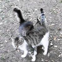 Кошки, которые гуляют сами по себе :: татьяна
