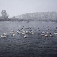 Как лебеди хороши, в водах зимнего залива :: Сергей Жуков