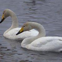 Как лебеди хороши, в водах зимнего залива 3 :: Сергей Жуков