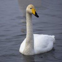 Как лебеди хороши, в водах зимнего залива 5 :: Сергей Жуков