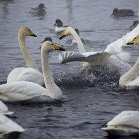Как лебеди хороши, в водах зимнего залива 6 :: Сергей Жуков