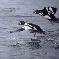 Бегущие по воде :: Сергей Жуков