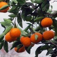 Гроздь мандариновая :: Наталья Джикидзе (Берёзина)