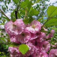 Розовое на зеленом :: Алла Рыженко