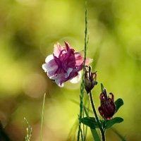 Боке и цветочек :: Владимир Гилясев