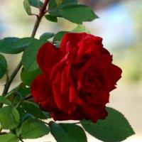 Сентябрь,розы в парке...2 :: Тамара (st.tamara)