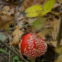 Мухомор, осенний лес, гриб, :: Алена Булдина
