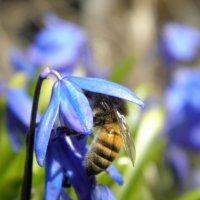 пчела :: Любовь Чумак