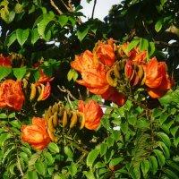 Спатодея - тюльпановое дерево :: Ольга Васильева