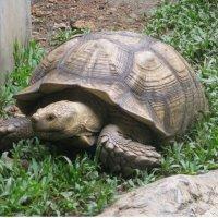 Гигантская черепаха. :: Phinikia
