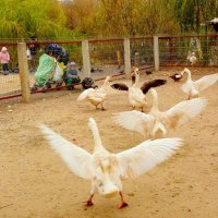 переполох на птичьем дворе :: Александр Прокудин