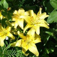 Желтые лилии :: Юлия