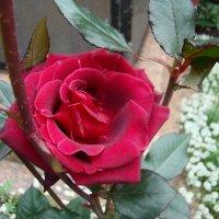 Осенняя роза в монастыре :: марина ковшова