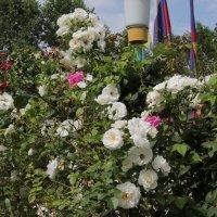 Цветы в Анапе :: Олег Афанасьевич Сергеев