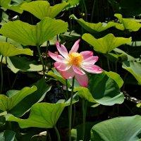 Цветок лотоса. :: владимир