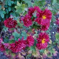 Октябрьские хризантемы в нашем дворе :: Нина Корешкова