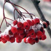 Рябина. Первый снег. :: Юрий