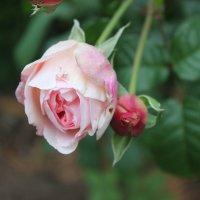 Подмороженная роза. Октябрь :: Марина Домосилецкая