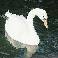 Белый лебедь :: Любовь Потравных
