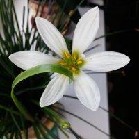 Домашний цветок :: Юлия