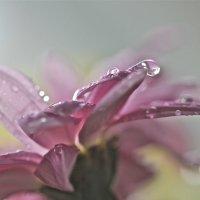 осенняя хризантема :: НАТАЛЬЯ