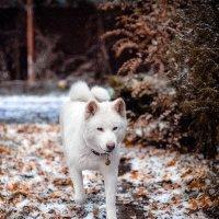 Снежа и первый снег в октябре :: Ксения Базарова