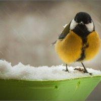 Синичкам голодно зимой... :: Сергей Величко