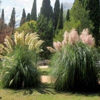 Пампасная трава. Сентябрь в Сочи... :: Нина Бутко