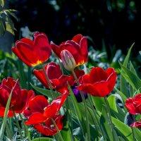огоньки тюльпанов :: gribushko грибушко Николай