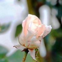 Нежность(роза конца октября) :: Нади часоК