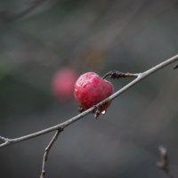 Райское яблочко :: Aнна Зарубина