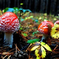 fun spotted fly agaric in the autumn forest :: valery60