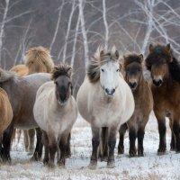 Якутские лошади.  Семейный портрет  ) :: Alexander Dersu