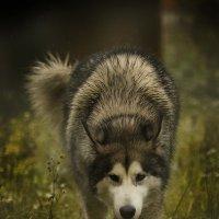 мой ручной волк :: Елена Волгина
