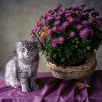 Мой любимый куст хризантем расцвел... :: Ирина Приходько