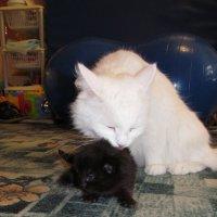 Кошка и котёнок :: Сергей Ткаченко