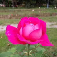 Роза красавица :: Антонина Владимировна Завальнюк