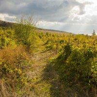 Осень. Старые виноградники. :: Анна Выскуб